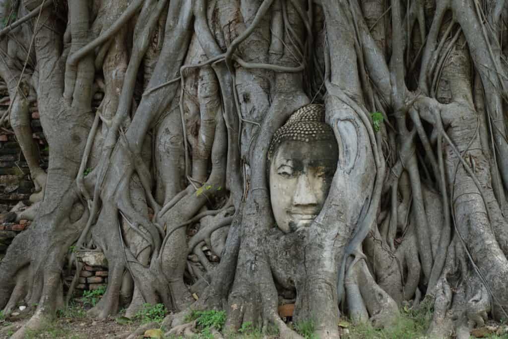 Buddhakopf im Baum in der Tempelruine des Wat Mahatat