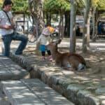 kleines Kind streichelt Bambi auf Miyajima