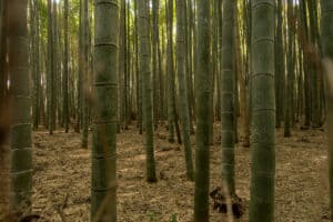 Arashiyama Bambuswald in Kyoto