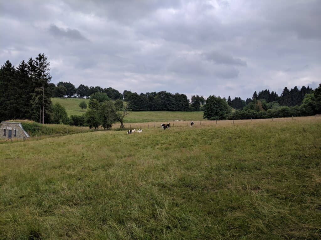 Kühe auf einer Weide in Monschau
